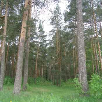 msk-zemru - участок в сосновом лесу
